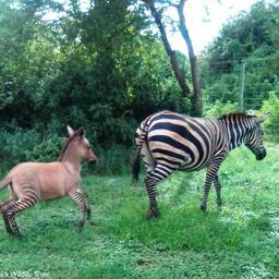 extreem-zeldzame-'zezel'-geboren-in-kenia:-kruising-van-zebra-en-ezel
