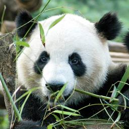 goed-nieuws:-paashaas-werkt-door-en-panda-in-rhenen-mogelijk-drachtig