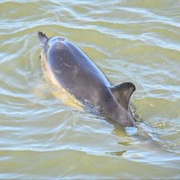 dolfijn-zwemt-sinds-maandagmiddag-in-haven-van-harlingen