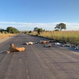 leeuwen-slapen-door-lockdown-op-de-weg-in-zuid-afrikaans-kruger-park