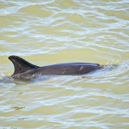 gestrande-dolfijn-bij-havens-amsterdam-weer-terug-door-sluis-geloodst