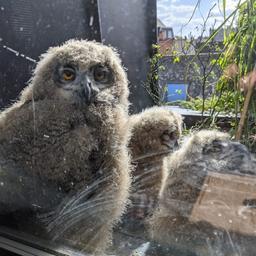 goed-nieuws:-oehoe-kuikens-op-balkon-|-maxima-deelt-koekjesrecept