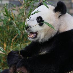 reuzenpanda-ontsnapt-uit-nieuw,-peperduur-verblijf-in-deense-dierentuin