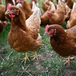 dorp-in-nieuw-zeeland-tijdens-lockdown-overspoeld-met-boosaardige-kippen