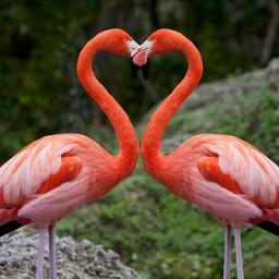 goed-nieuws:-reisadviezen-versoepeld-|-succesvol-broedseizoen-flamingo's