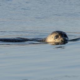 goed-nieuws:-meer-zeehonden-in-waddenzee-|-hulplijn-113-beschikbaar