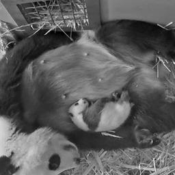 pandababy-ouwehands-dierenpark-mogelijk-vernoemd-naar-van-gogh