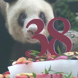 video-|-oudste-panda-in-gevangenschap-viert-38e-verjaardag