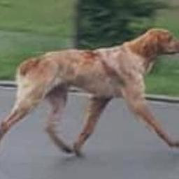 baasje-van-zwitserse-hond-die-800-kilometer-liep-nog-niet-gevonden