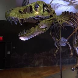 video-|-brits-veilinghuis-gaat-grootste-t.-rex-skelet-ter-wereld-verkopen