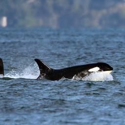 spanje-legt-deel-zeilsport-stil-vanwege-speelse-orka's