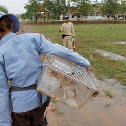 gambiahamsterrat-krijgt-gouden-medaille-voor-opsporen-van-landmijnen