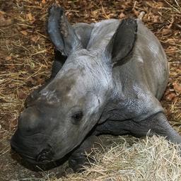 goed-nieuws:-witte-neushoorn-geboren- -gijzelaar-in-mali-na-vier-jaar-vrij