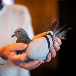 belgische-duif-voor-recordbedrag-van-1,6-miljoen-euro-verkocht