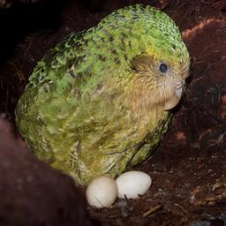 goed-nieuws:-spacex-lanceert-astronauten-|-kakapo-wint-vogelverkiezing