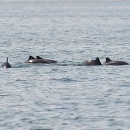 goed-nieuws:-meer-bruinvissen-in-noordzee-|-puppy-gered-uit-bek-alligator