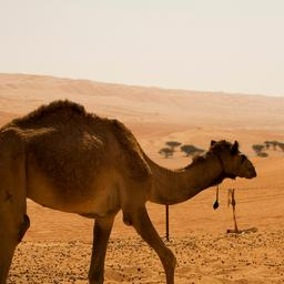 marokkaanse-politie-vindt-1.000-kilo-hasj-op-verlaten-kudde-dromedarissen