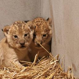 goed-nieuws:-leeuwtjes-geboren-in-amersfoort-|-grosjean-herstelt-goed