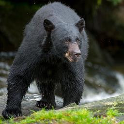 vrouw-in-alaska-in-bil-gebeten-door-beer-die-zich-onder-buitentoilet-verstopte