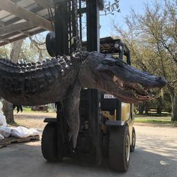 hondenpenningen-en-schildpadschilden-aangetroffen-in-alligatormaag-vs