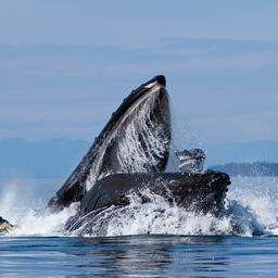 amerikaanse-kreeftenvisser-zegt-te-zijn-opgeslokt-en-uitgespuugd-door-walvis