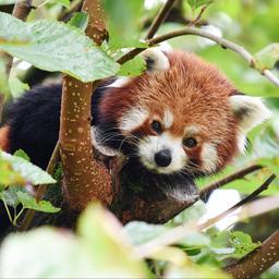 uit-duitse-dierentuin-ontsnapte-rode-panda-is-teruggevonden-in-een-boom