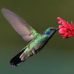 kolibrievrouwtjes-vermommen-zich-als-mannetje-om-rustig-te-kunnen-eten