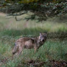 wolvinnen-dierenpark-amersfoort-moeten-verhuizen-vanwege-dominant-gedrag